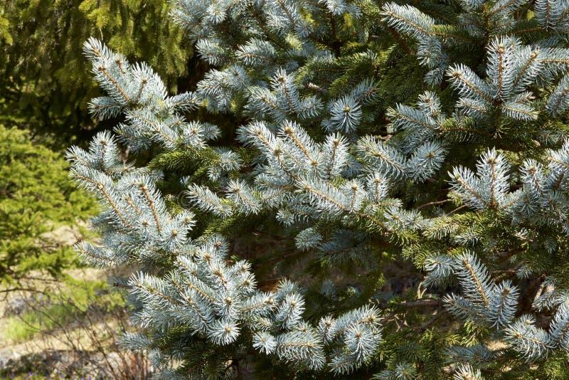 Silbertannenbaum am Frühling lizenzfreie stockfotografie