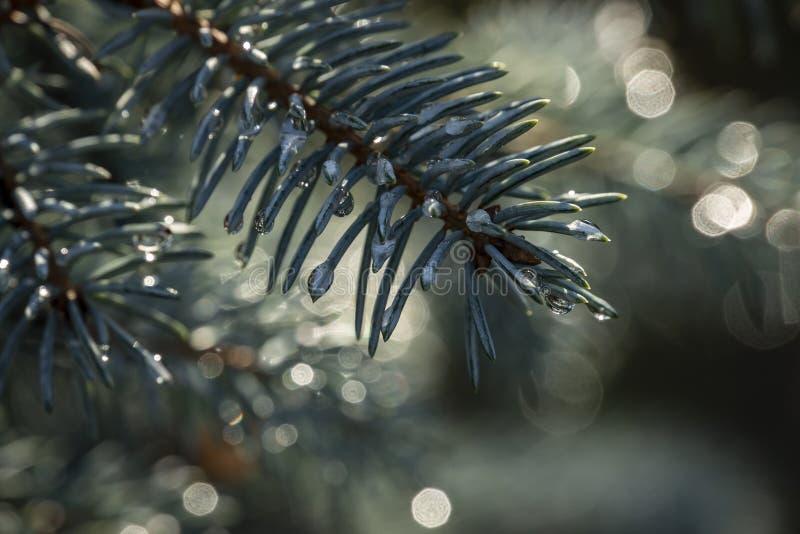 Silbrige Nadeln mit magischen Regentropfen von blauen Picea pungens Hoopsii Nahaufnahme im natürlichen Sonnenlicht mit schönem bo lizenzfreie stockfotografie