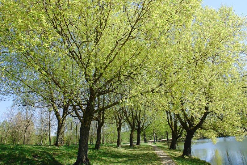 Silbrige Zeit der Weidenblüte im Frühjahr stockbild