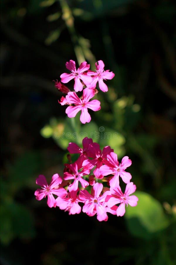 Silene armeria kwiat zdjęcie royalty free