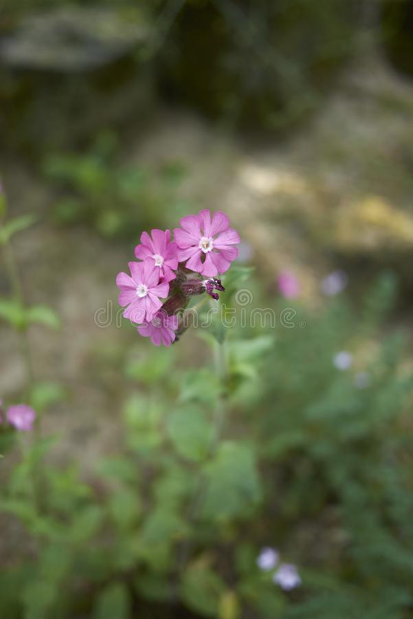 Silene-dioica Rosablumen stockfoto
