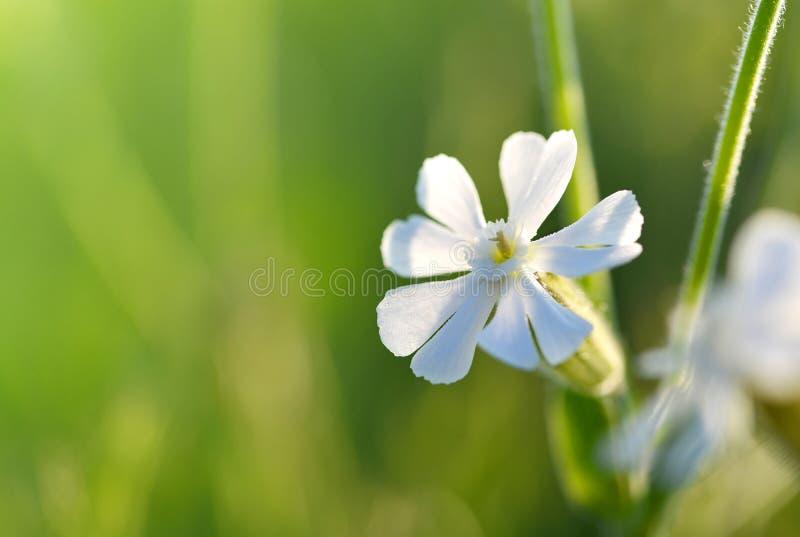 Silene för vit glim latifolia eller Melandrium albumcloseup arkivfoto