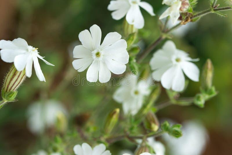 Silene latifolia, blommamakro för vit glim arkivfoto