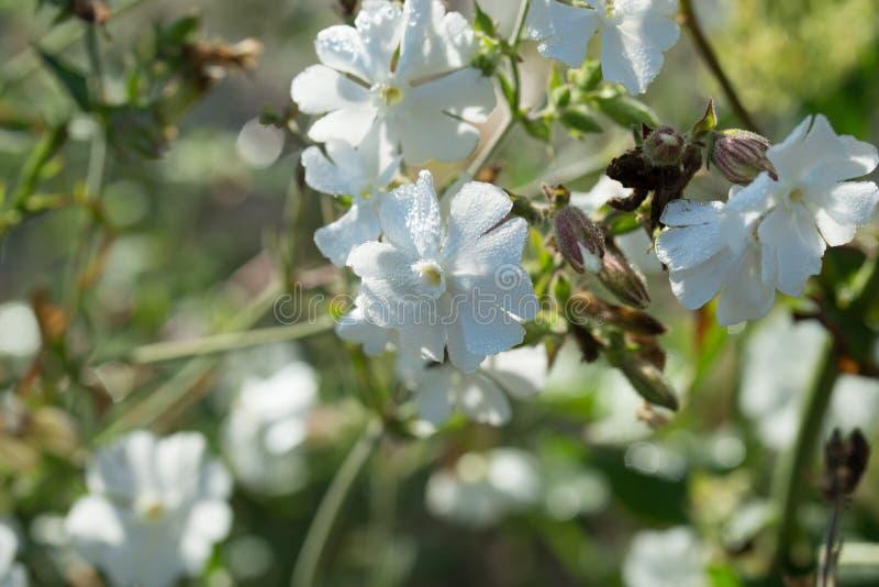 Silene latifolia, blommamakro för vit glim royaltyfria bilder