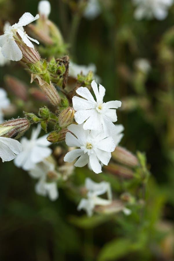 Silene latifolia, blommamakro för vit glim arkivfoton