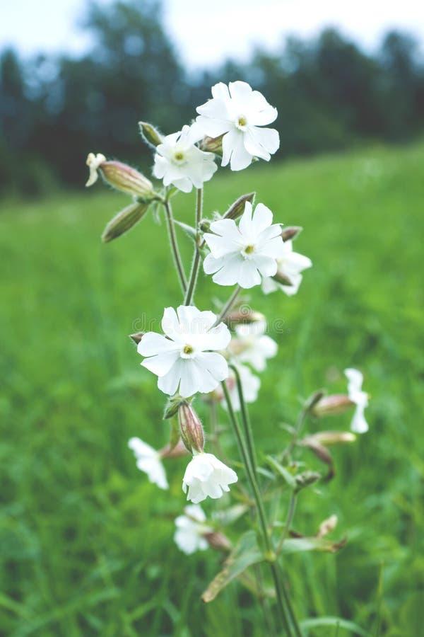 Silene latifolia, fuoco selettivo del fiore della licnide bianca macro fotografia stock libera da diritti