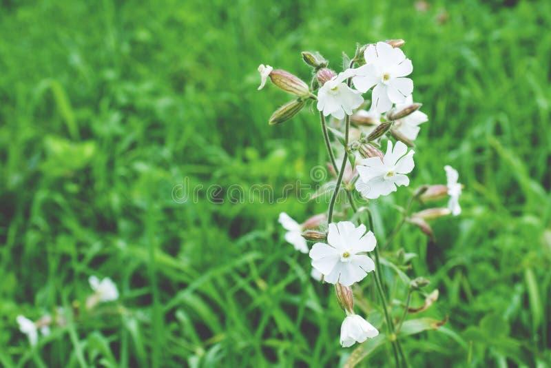 Silene latifolia, fuoco selettivo del fiore della licnide bianca macro fotografie stock libere da diritti