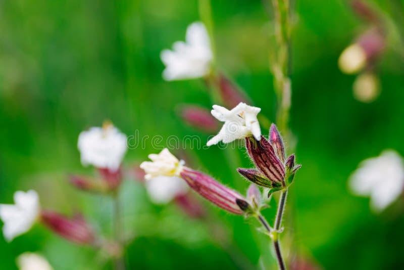 Silene latifolia-vit glim - i ett fält royaltyfri fotografi