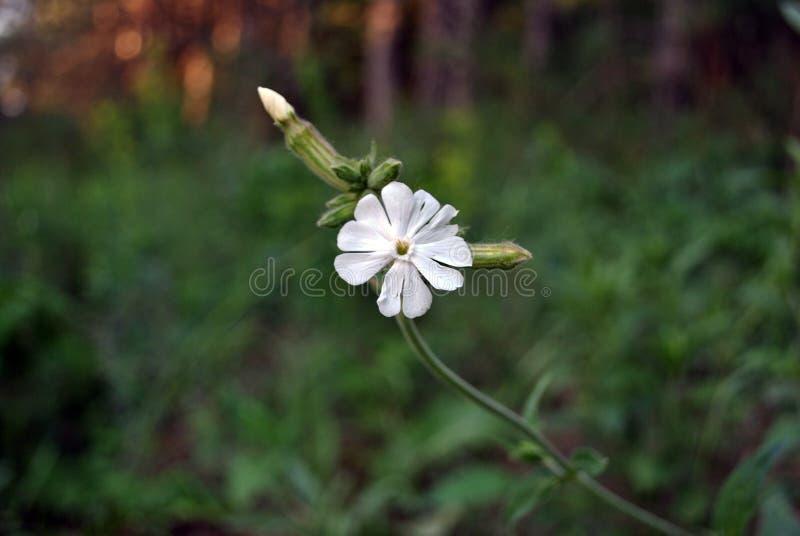 Silene latifoliaMelandrium album, blomningväxten för vit glim som växer, vår i skog royaltyfria foton