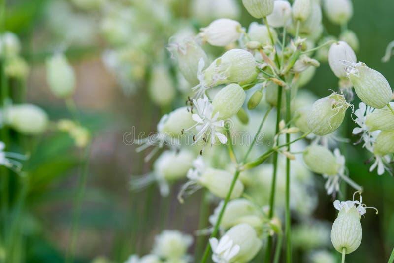 Silene vulgaris, silène enflée, fleurs de maidenstears photographie stock