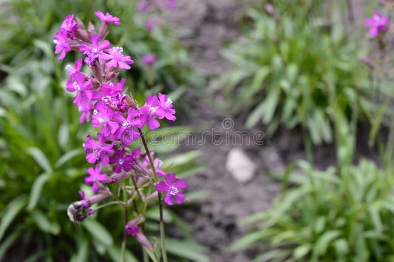Silene yunnanensis - glim arkivfoto