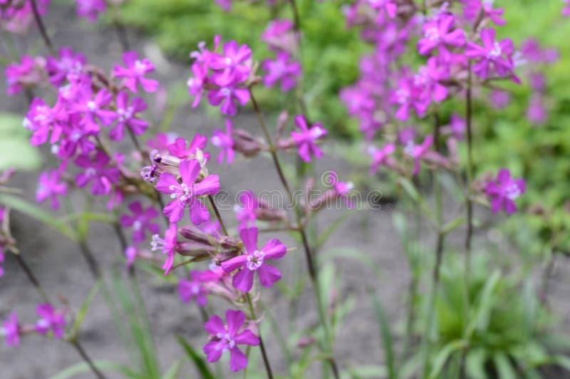 Silene yunnanensis - glim royaltyfri foto