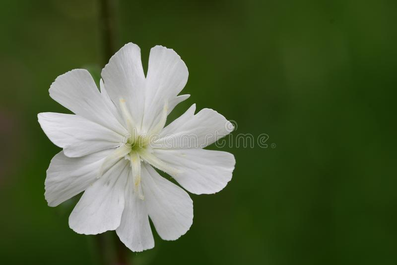 Silenelatifolia för vit glim arkivfoton