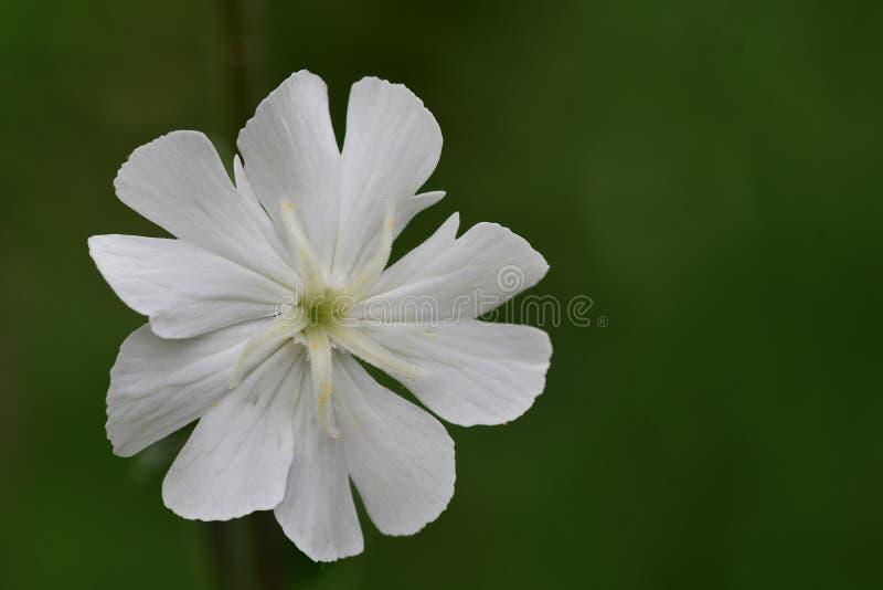 Silenelatifolia för vit glim royaltyfri foto