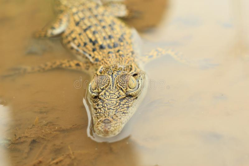 The silent killer. Crocodiles subfamily Crocodylinae or true crocodiles are large aquatic reptiles that live throughout the tropics in Africa, Asia, the Americas stock images