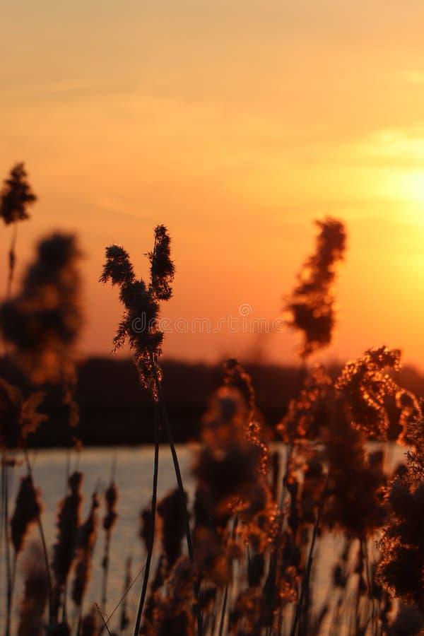 Silhouet des transitoires d'herbe à un coucher du soleil d'or Avec un lac à l'arrière-plan images libres de droits