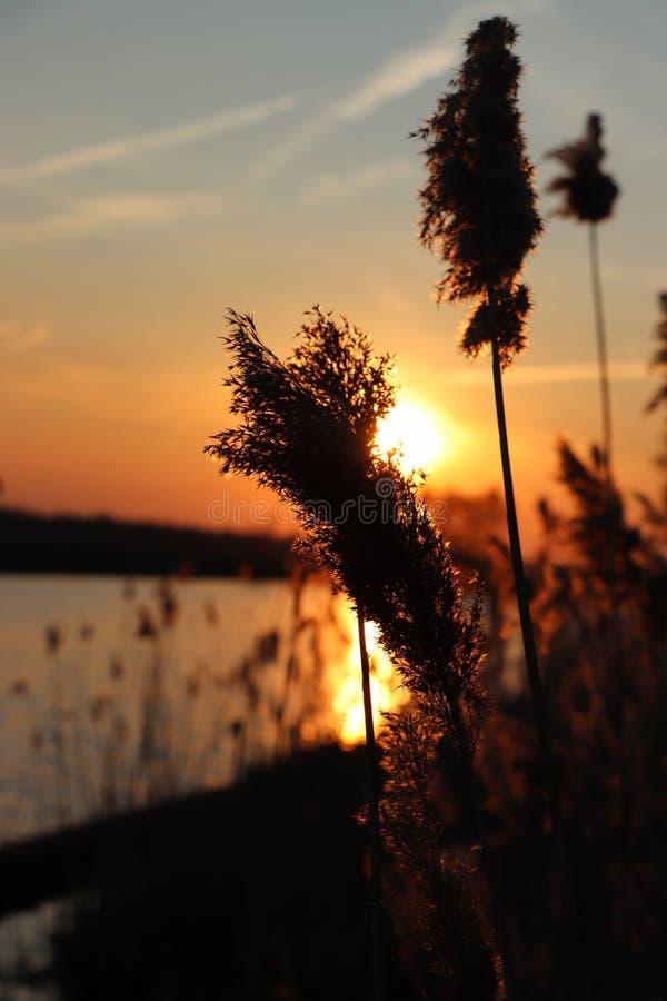 Silhouet des transitoires d'herbe à un lac d'or de coucher du soleil photo stock