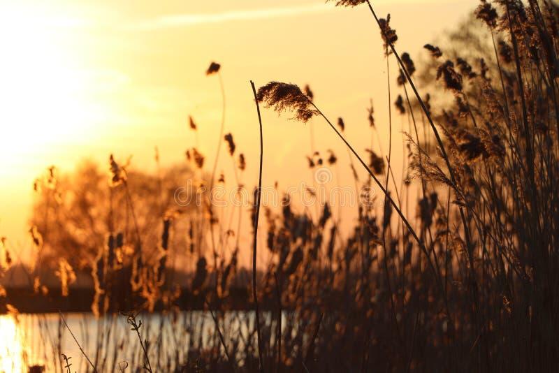 Silhouet des transitoires d'herbe ? un coucher du soleil d'or Avec un lac ? l'arri?re-plan photo stock