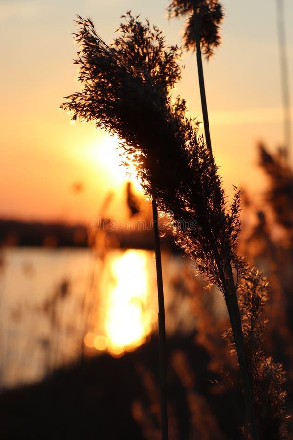 Silhouet des transitoires d'herbe ? un coucher du soleil d'or Avec un lac ? l'arri?re-plan photos libres de droits