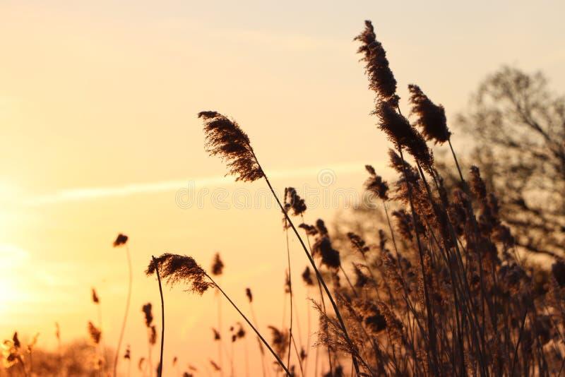Silhouet des transitoires d'herbe ? un coucher du soleil d'or photographie stock