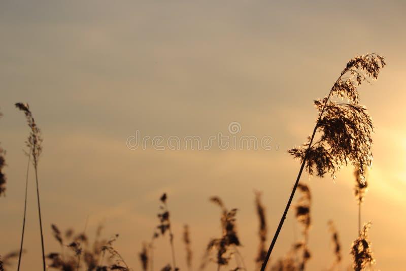 Silhouet des transitoires d'herbe ? un coucher du soleil d'or photo libre de droits