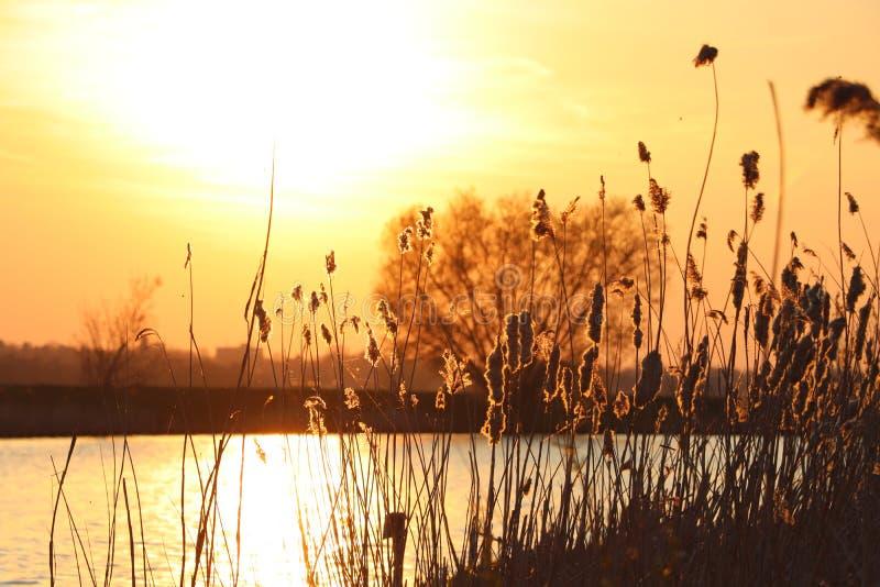 Silhouet des transitoires d'herbe ? un coucher du soleil d'or image stock