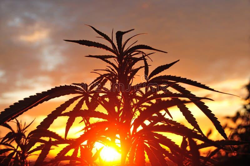 Silhouet die van cannabisinstallatie in vroege ochtend, in openlucht groeien stock fotografie