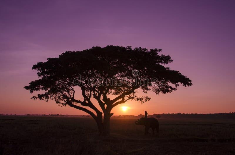 Silhouet grote boom met de olifant en mahout in de zonsondergang stock afbeeldingen
