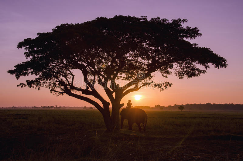 Silhouet grote boom met het padieveld in de zonsondergang stock foto's
