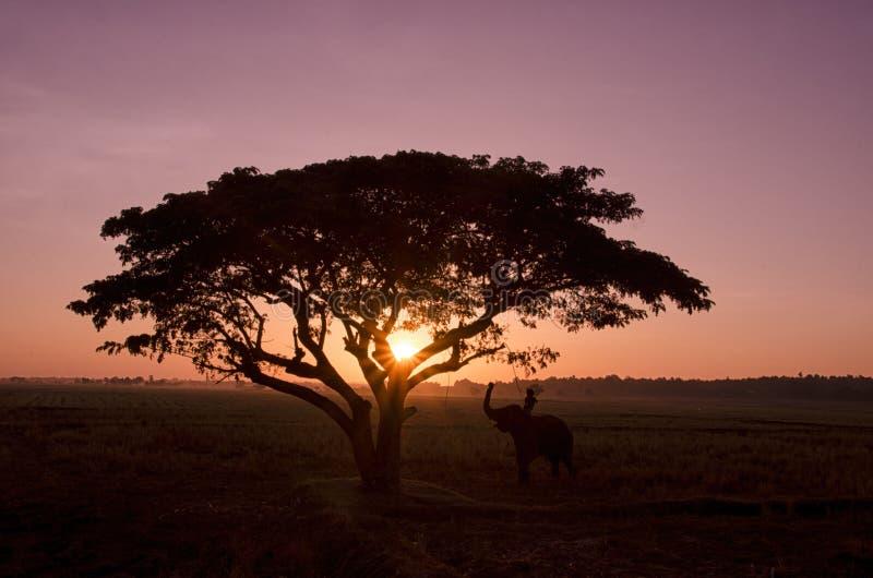 Silhouet grote boom met het padieveld in de zonsondergang stock afbeelding