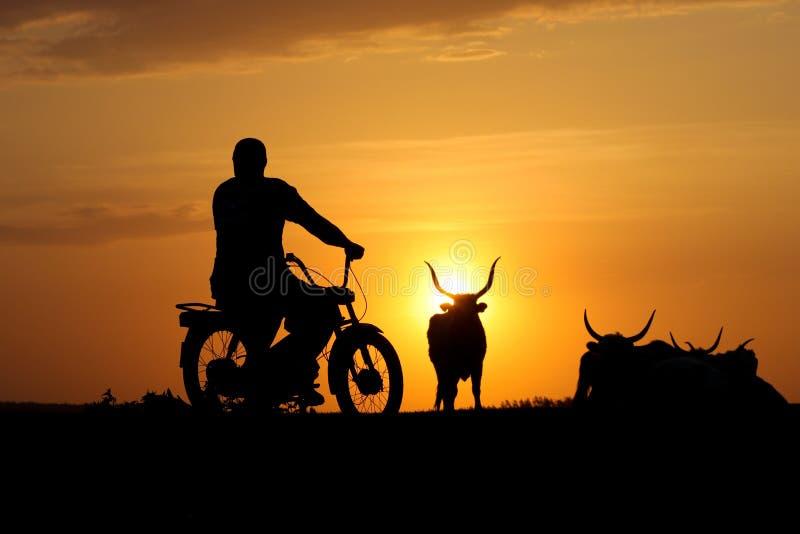 Silhouet van cowherd op motorfiets en vernomen koe stock afbeelding