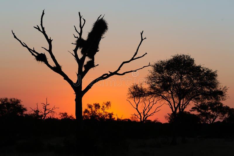 Silhouet van de ogenblikken van acaciabomen na zonsondergang royalty-vrije stock fotografie