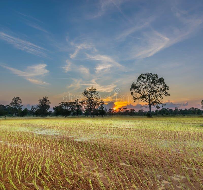 Silhouet van de zonsondergang met de landbouwerspraktijken, een oude methode, de aanplanting, groen padiepadieveld met royalty-vrije stock foto's