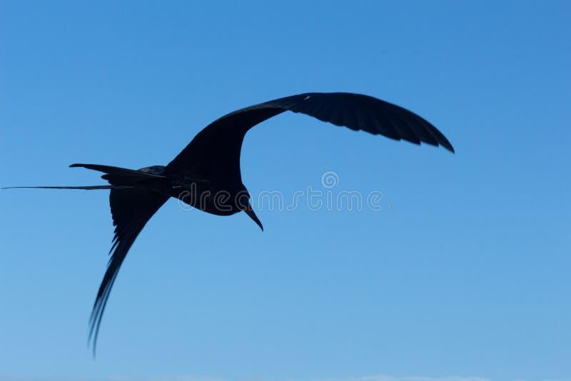 Silhouet van een fregat die in de Galapagos over de blauwe hemel vliegen royalty-vrije stock foto's