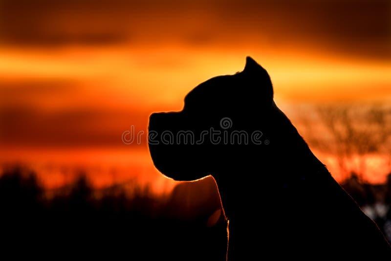 Silhouet van een hond bij zonsondergang De Italiaanse hond van rietcorso royalty-vrije stock foto's