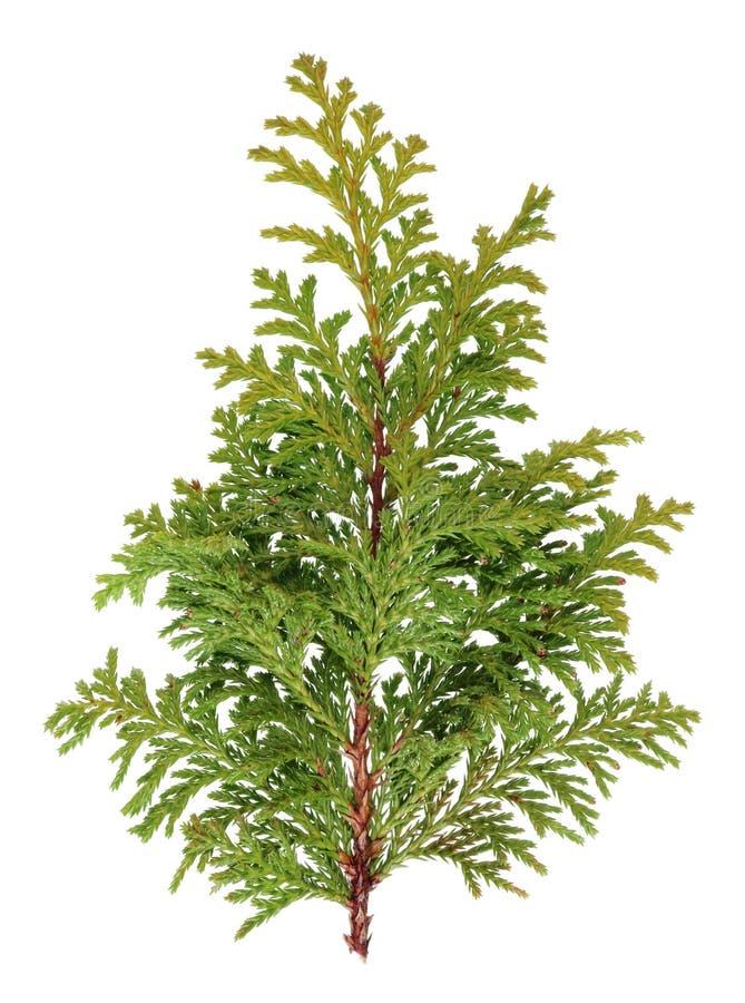 Silhouet van een miniatuur groene verse Kerstboom royalty-vrije stock afbeeldingen