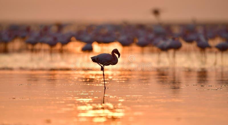 Silhouet van flamingo bij dageraad Flamingo op het water van Meer Natron bij zonsopgang Kleinere Flamingo Wetenschappelijke naam: stock foto