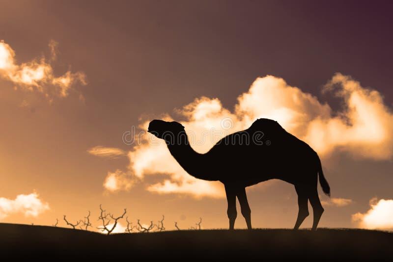 Silhouet van het lopen van kameel op de zandduinen stock fotografie