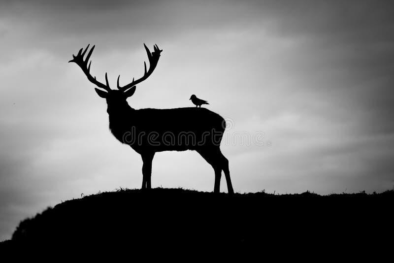 Silhouet van majestueus rood hertenmannetje en vogel in Autumn Fall royalty-vrije stock afbeeldingen