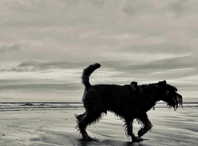 Silhouet van Miniatuurschnauzer-hond op strand royalty-vrije stock foto's