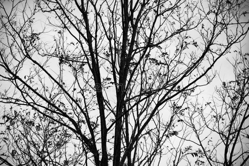 Silhouet van naakte kersenboom in wintertijd stock foto