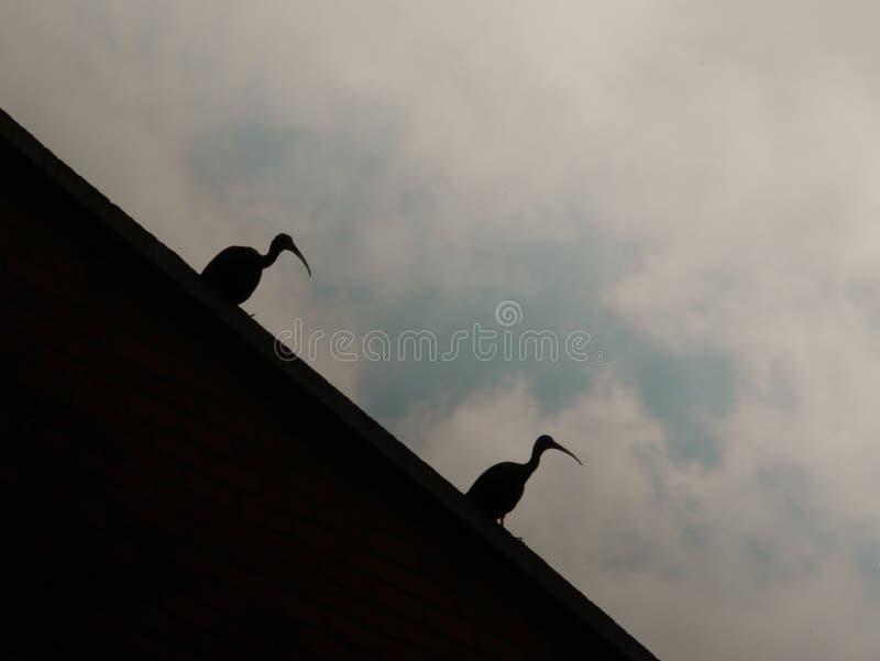 Silhouet van onbeschaamde ibis twee die op een muur in de species rusten van envigadocolombia die van nat land migreerden royalty-vrije stock afbeeldingen