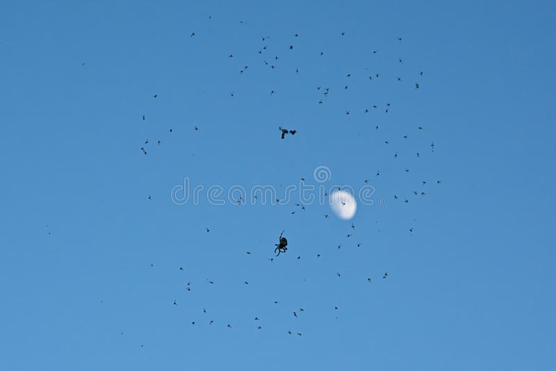 Silhouet van spinzitting in Webhoogtepunt van vliegen op blauwe hemel met maan stock foto's