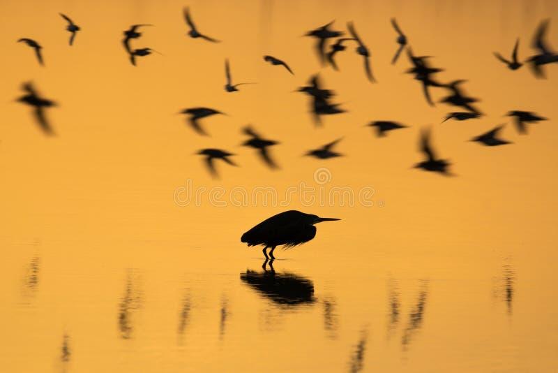 Silhouet van vliegende vogels over water stock fotografie