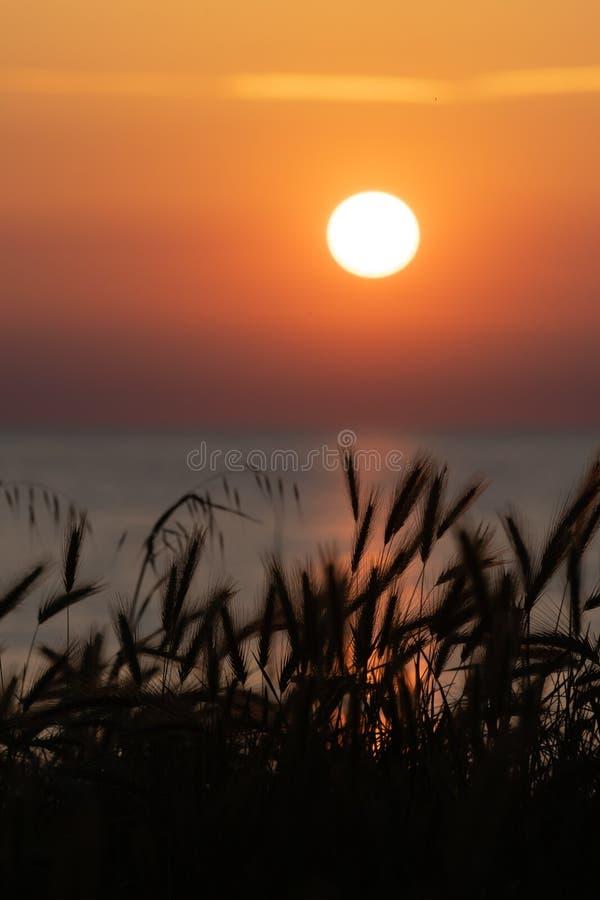 Silhouet van wilde tarwebaarden en zon die in heldere oranje hemel op achtergrond plaatsen stock foto