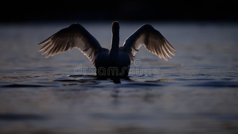 Silhouet van Zwaan op Diep Blauw Water stock fotografie