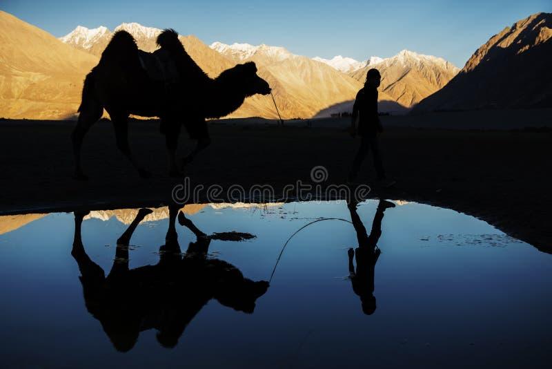 Silhouette отражение верблюда и идите снег долина Ladakh Nubra горной цепи, Индия стоковые фотографии rf