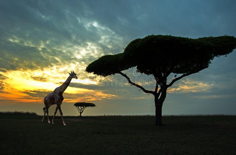 Silhouette of African safari scene stock image
