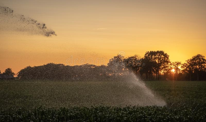 Silhouette of agricultural irrigation system watering cornfield at sunset. Cornfield irrigation using the center pivot sprinkler stock photo