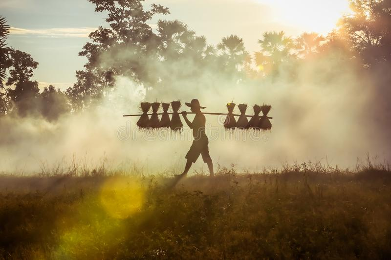 Silhouette of asian farmer Bearing seedlings of rice to plant, Asian farmer Bearing rice seedlings royalty free stock photo